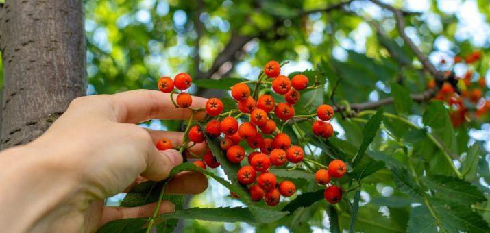 Žeriav moravský sladkoplodý ako súčasť vašej zdravej záhrady