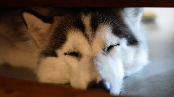 pes nemoc